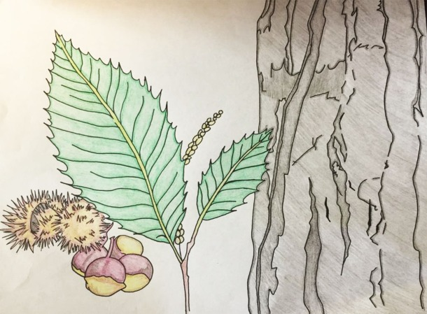 Chestnut tree illustration